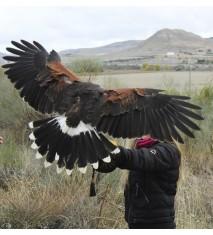 Vuela a un águila